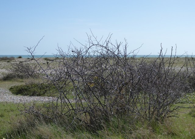 Scrubby little bush; Pagham