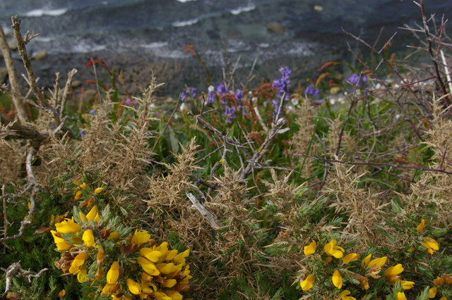 Gorse and bluebells on the cliff-edge, above Traeth Samuel
