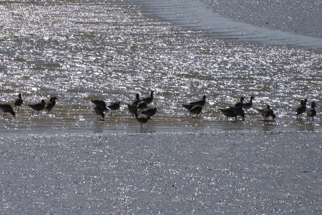 Black-tailed Godwits and a Redshank on the mudflats