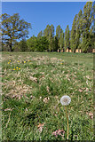 TQ3095 : Dandelion Seed Head, Oakwood Park, London, N14 by Christine Matthews