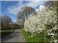 TQ6792 : Blossom on Laindon Common Road by Marathon