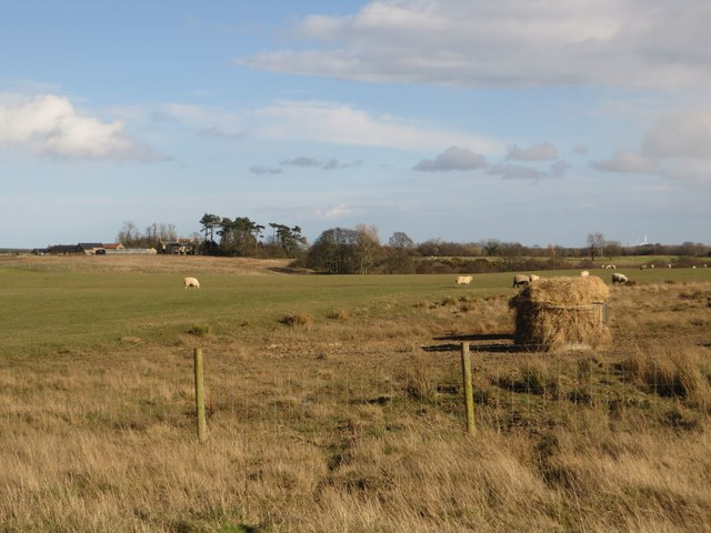 Sheep grazing west of Ulgham Park