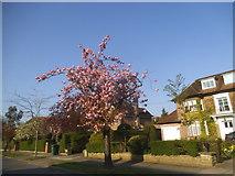 TQ2688 : Cherry blossom on Kingsley Way by David Howard