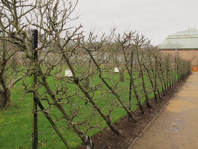 Trained apple trees at Tatton Hall