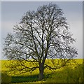 SK6343 : Ash tree with rape field by David Lally