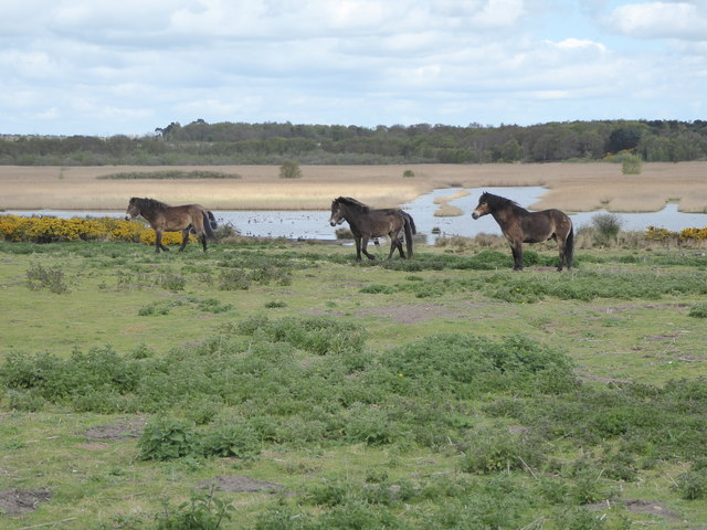 Ponies on the Walberswick National Nature Reserve