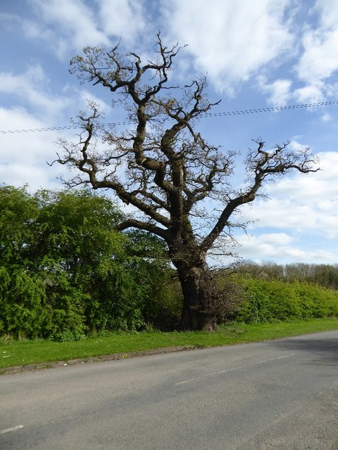 Oak tree on Green Lane