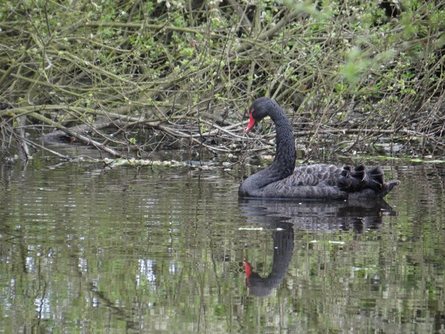 Black swan at the nature reserve