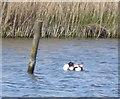 SZ8797 : Shelduck (Tadorna tadorna) amongst the reeds by Rob Farrow