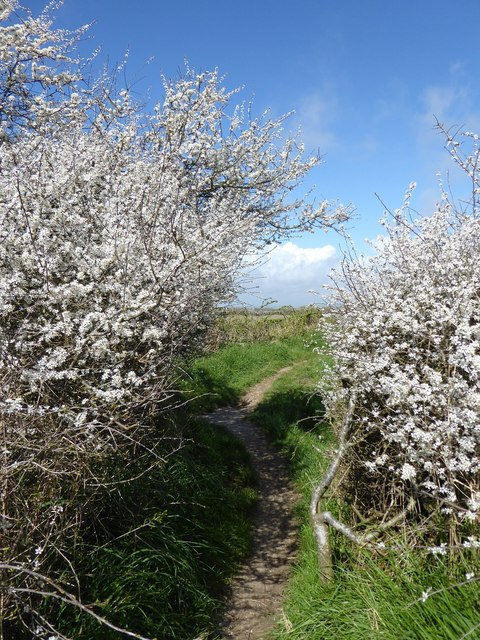 Blackthorn on the coastal path, Pagham Harbour