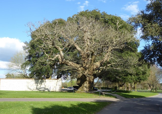 Spanish Chestnut in front of a Holm Oak