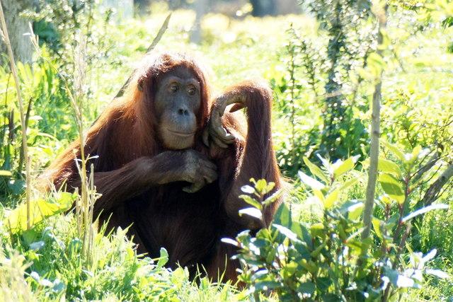 Sumatran Orangutan (Pongo abelii) at Chester Zoo