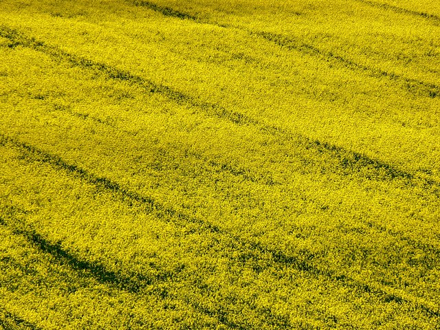 Oilseed rape crop, north of the A4, Froxfield