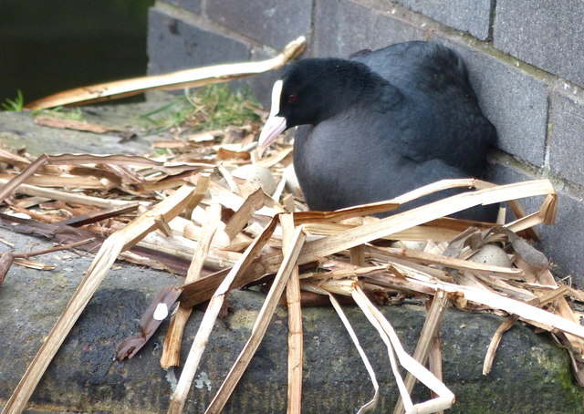 Nesting coot at Tipton Station Bridge