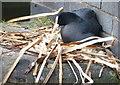 SO9592 : Nesting coot at Tipton Station Bridge by Mat Fascione