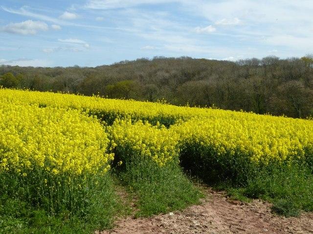 Oilseed rape and Westfields Wood