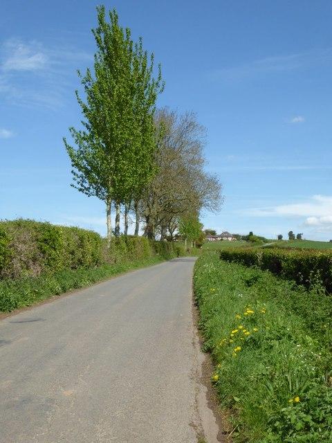 Roadside poplar trees