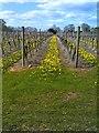 SO8292 : Dandelion Rows by Gordon Griffiths