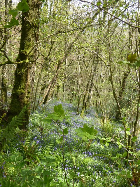 Bluebells in Great Copse