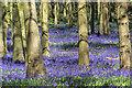 SP9714 : Bluebells in Dockey Wood, Hertfordshire by Christine Matthews