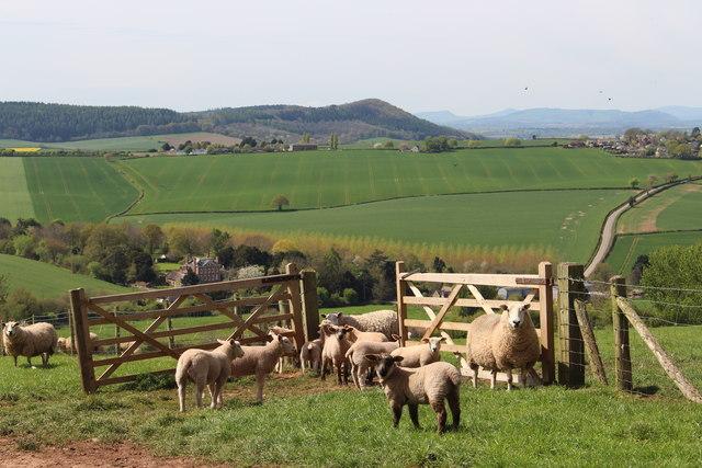 Ewes and their lambs at Haygrove Farm