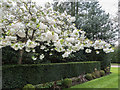 TQ1593 : Blossom near Bentley Priory, Stanmore by Christine Matthews