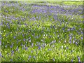 ST6992 : Bluebells in Tortworth Park by Philip Halling