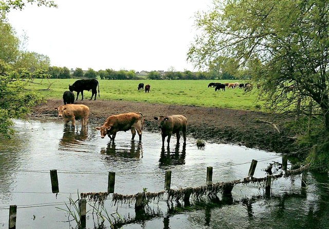 Cattle in the River Thames, Cricklade