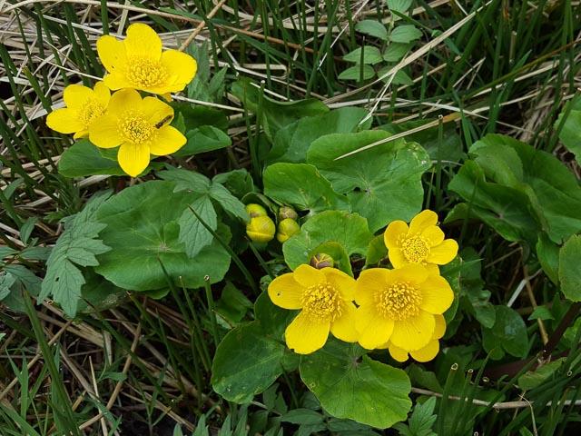 Marsh marigolds near Stroneskar