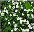 TG2404 : Greater stitchwort (Stellaria holostea) by Evelyn Simak