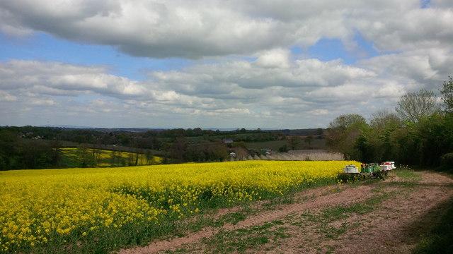 Oil seed rape field and beehives near Linton