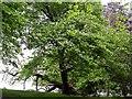 TQ7918 : Wild service tree in flower by Patrick Roper