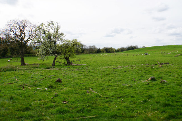 Field of sheep at Corbridge
