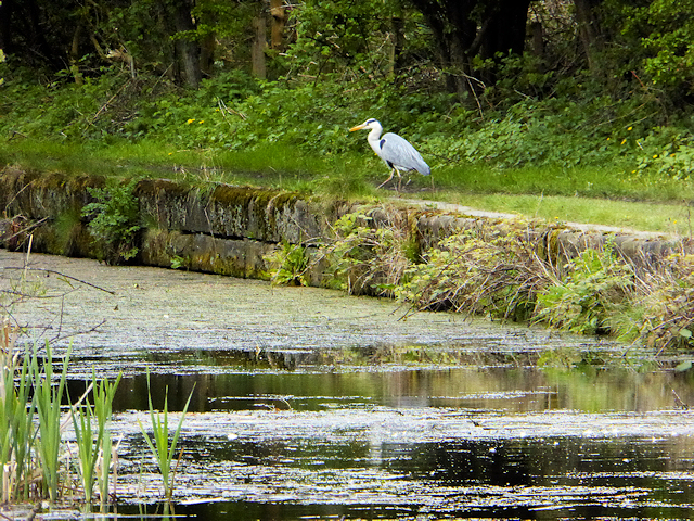 Grey Heron at the side of the Manchester, Bolton and Bury Canal