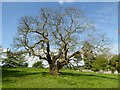 ST7093 : Sweet chestnut tree by Philip Halling