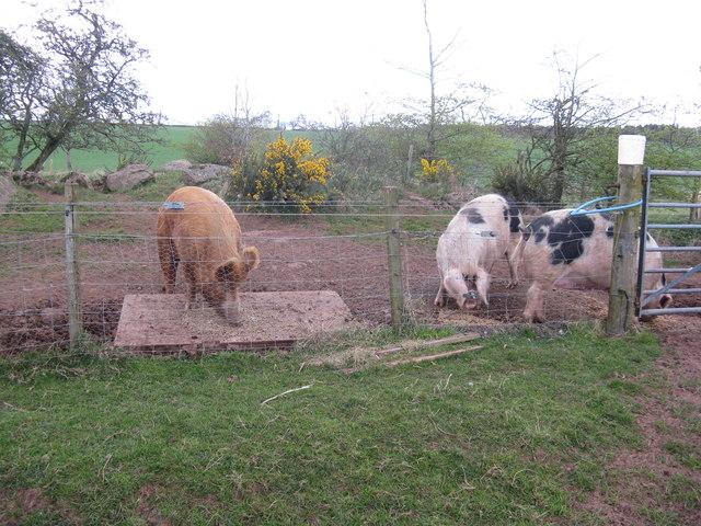 Pigs at Sauchie Farm