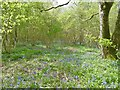 ST9517 : Rushmore Park, bluebell wood by Mike Faherty