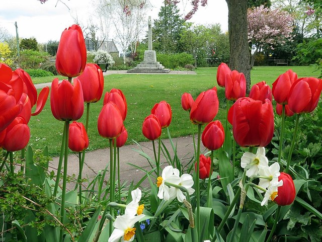 Tulips in the Memorial Park, Heddon on the Wall