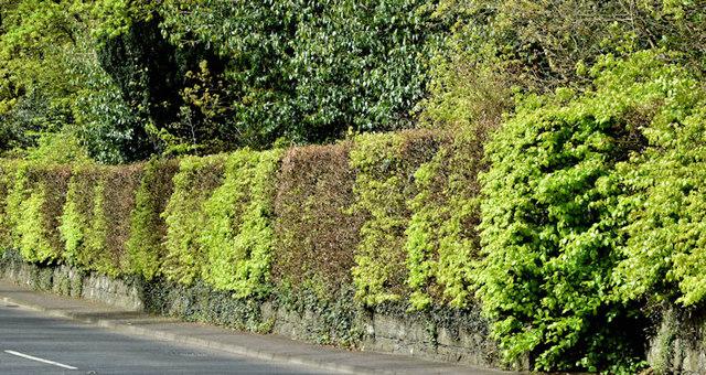 Beech hedge, Dunmurry (April 2017)