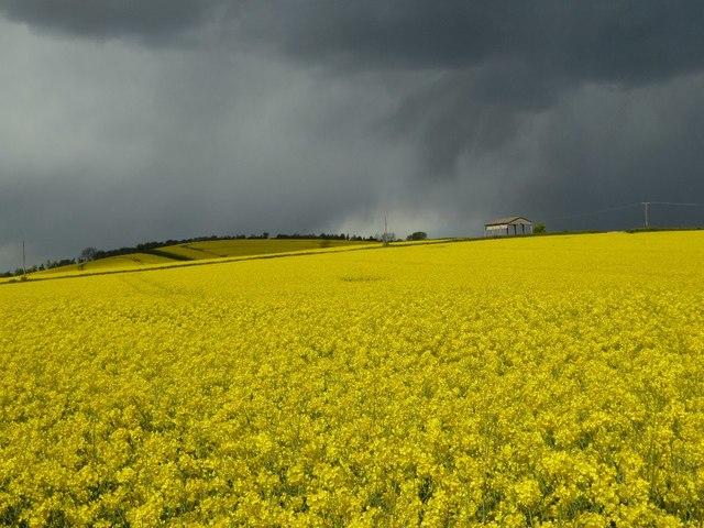 Oilseed rape under a menacing sky #2