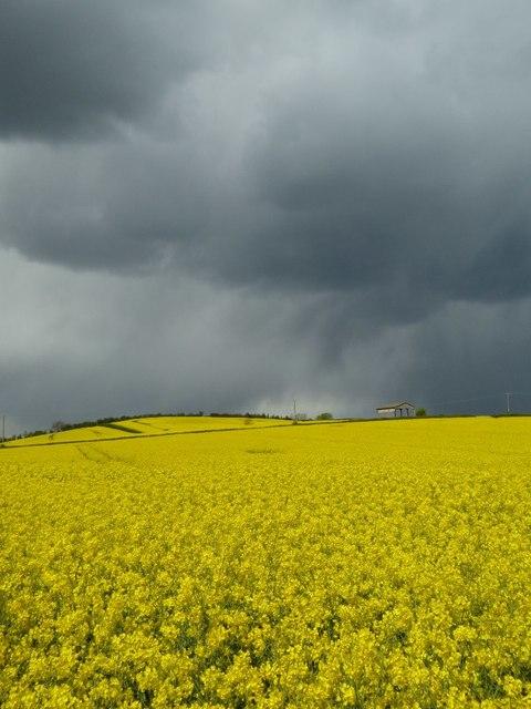 Oilseed rape under a menacing sky #3