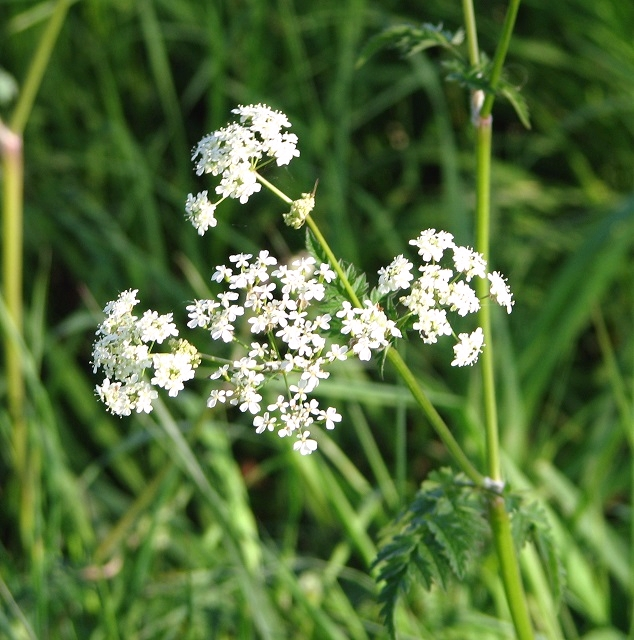 Cow parsley (Anthriscus sylvestris) - flower