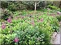 SH5573 : Border of Primula pulverulenta by Richard Hoare