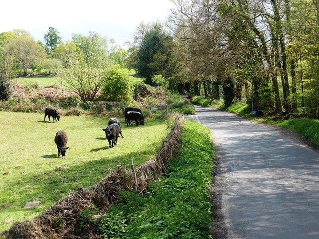 Cattle in field near Headley Park