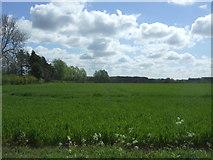 TL9159 : Crop field, Bradfield St. George by JThomas