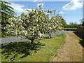 SO8642 : Apple trees in blossom by Philip Halling