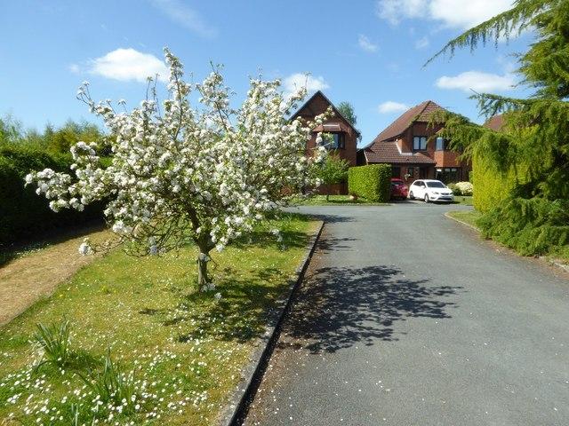 Apple trees in Earls Grange