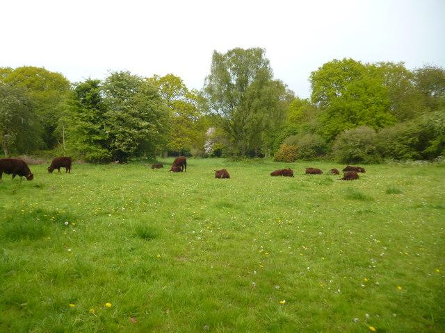 Bullocks on Coulsdon Common