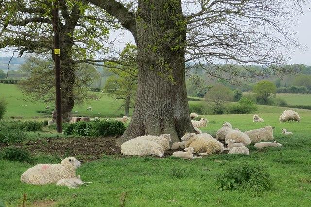 Sheep near Maytham Road