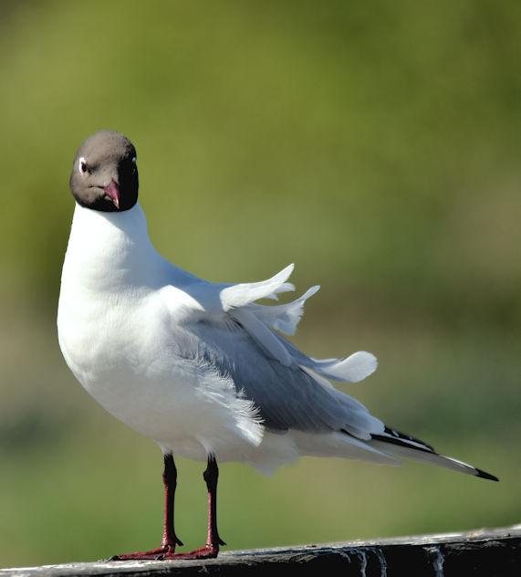 Black-headed gull, Kiltonga, Newtownards (May 2017)